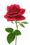赤いバラのCGイラスト